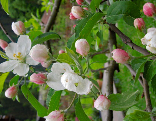 Flowers from apple tree | © viehhofen.at