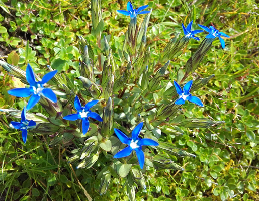 Alpine gentian | © viehhofen.at